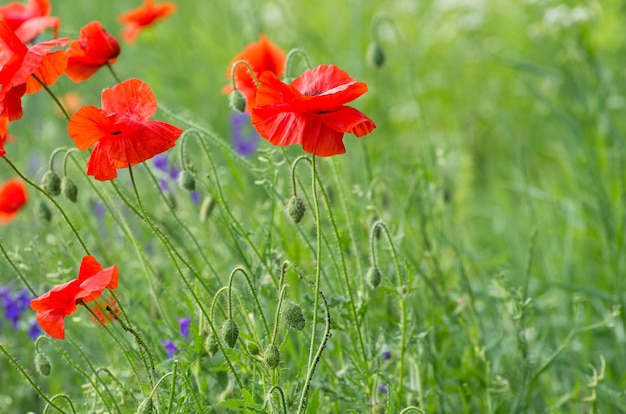 Closeup of red poppy on cereal field