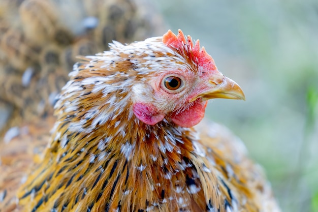 Closeup of red rooster in the farm