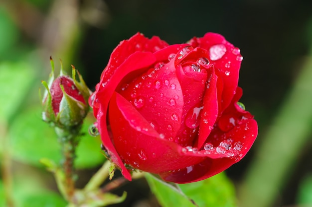 Closeup red rose bud with water drops blurred background