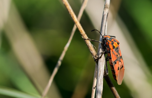 Closeup of a red soldier bug on dried branches in a field under the sunlight in malta