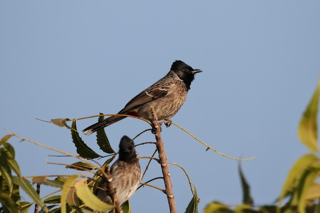 Closeup of red vented bulbul perched on a tree branch against a bokeh background