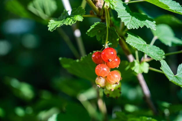 Closeup of redcurrants on a tree branch in a field under the sunlight