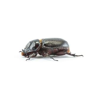 Closeup rhinoceros beetle isolated