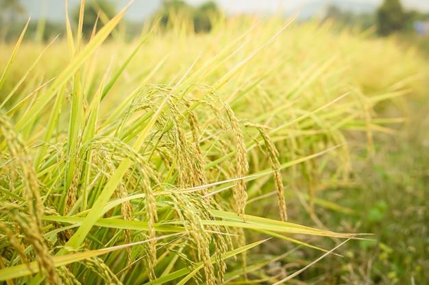 Closeup rice seed in rice paddy