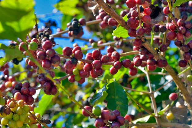Closeup of ripe coffee beans on the tree