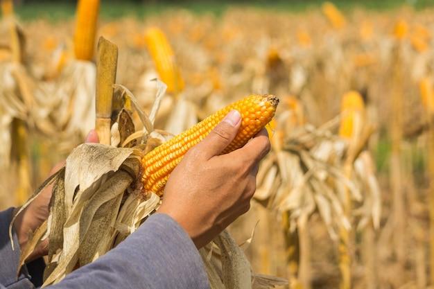 クローズアップ熟した飼料トウモロコシの穂軸は、農産業および農産物の概念として、乾燥したトウモロコシ畑の農家または耕運機の手に保持されます