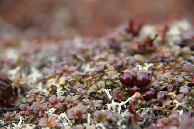 Closeup of ripe lowbush cranberries or lingonberries found in the fall in the arctic tundra