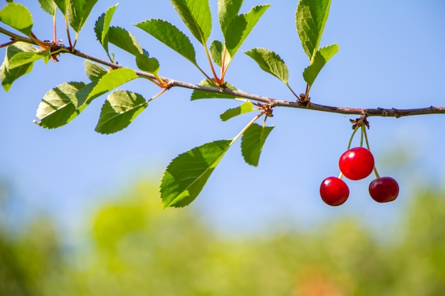 Closeup of ripe red cherries on a branch over of forest and blue sky, selective focus