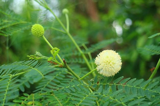 근접 촬영 강 타마 린드 또는 줄기에 등반 개미의 그룹과 화이트-leadtree 꽃