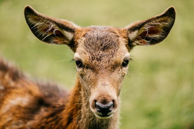 Closeup of roe deer at nature