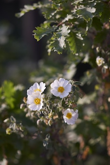 Closeup of rosa arvensis in a garden surrounded by greenery under sunlight with a blurry background