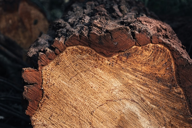 Closeup of round trunk with drops of resin the texture of a fresh sawn wood with growth rings