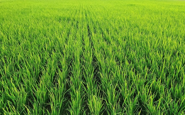 Closeup of rows of rice plants at a vast field