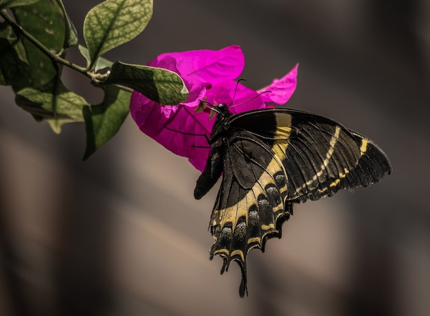 Closeup of a royal butterfly on a purple flower