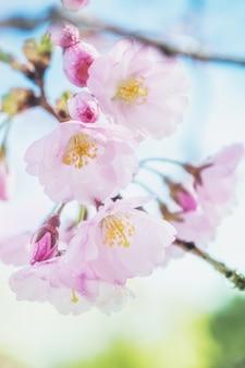 Closeup on sakura flowers