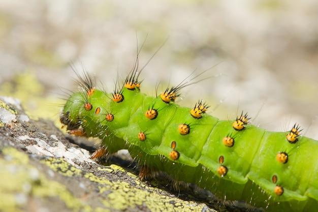 Closeup of a saturnia pavonia caterpillar on the ground under the sunlight