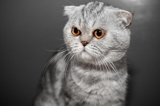 クローズアップスコティッシュフォールド猫はとてもかわいいです。