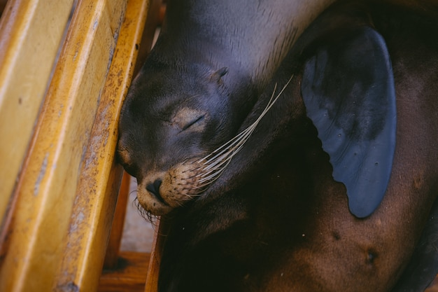 Closeup of a sea lion laying on a bench with eyes closed
