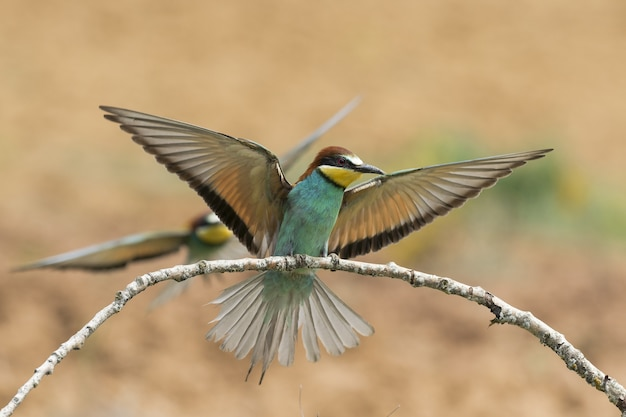 Closeup selective focus shot of a beautiful bee-eater