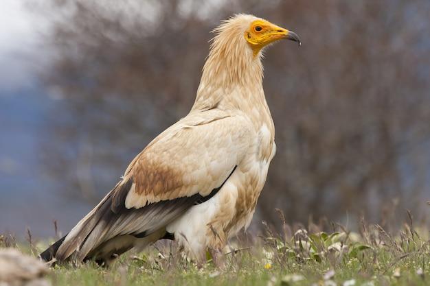 Closeup selective focus shot of a beautiful egyptian vulture
