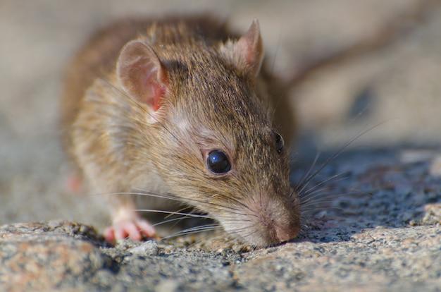 Primo piano del fuoco selettivo colpo di un ratto marrone sul terreno concreto