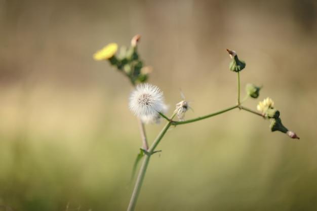 Closeup selective focus shot of a common dandelion