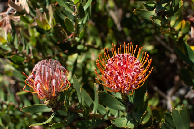 Sunlights 아래 분홍색 sugarbushes의 근접 촬영 선택적 초점 샷