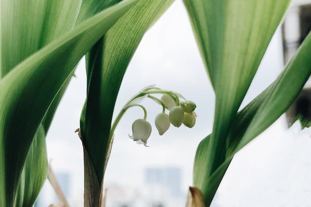 側面に葉を持つ新鮮な白いスノードロップのクローズアップの選択的なフォーカスショット