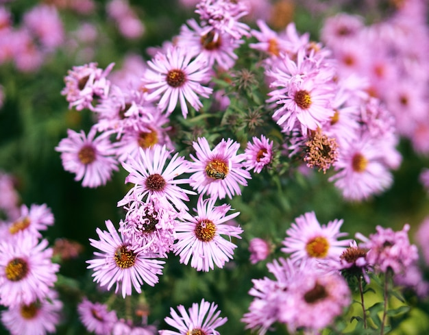 Крупным планом селективный фокус выстрел из розовых цветов с пчелой на вершине и зелени