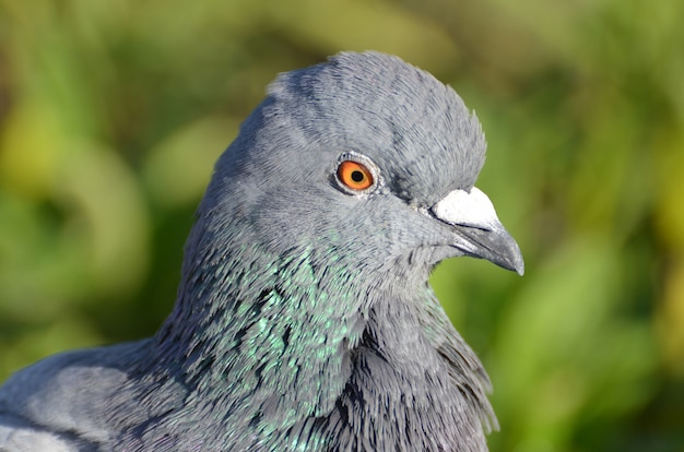 Closeup selective focus view of a rock dove with orange eyes
