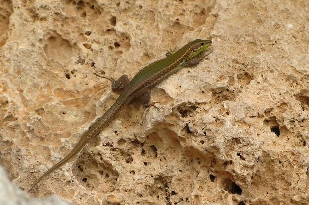Крупным планом селективный снимок зеленой мальтийской стенной ящерицы, сидящей на скале под солнечным светом на мальте
