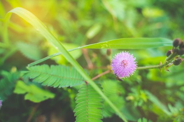 Closeup to sensitive plant flower, mimosa pudica with sun light