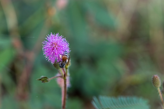 The closeup to sensitive plant flower, mimosa pudica