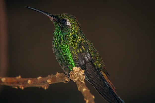 Крупным планом мелкий фокус выстрел зеленой коронованной блестящей колибри, сидящей на тонкой ветке