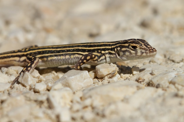 Closeup shot of an acanthodactylus erythrurus lizard in spain
