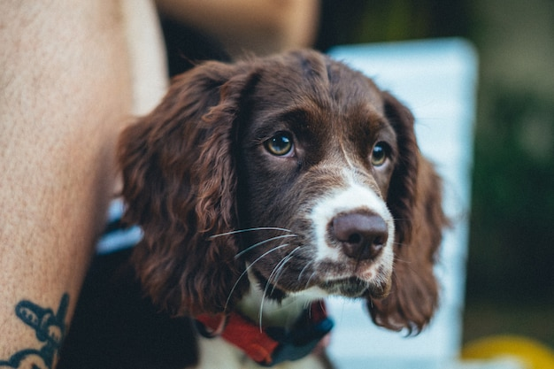 Closeup shot of an adorable brown breton dog on blurred background