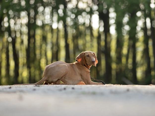 Closeup shot of an adorable brown hungarian vizsla on blurred background