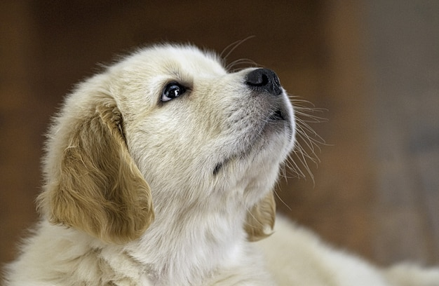 Colpo del primo piano di un cucciolo adorabile del documentalista dorato che osserva in su