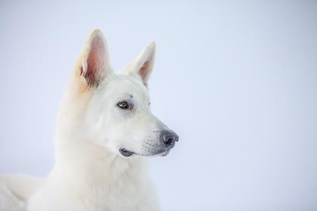 Closeup shot of an adorable white dog in a studio