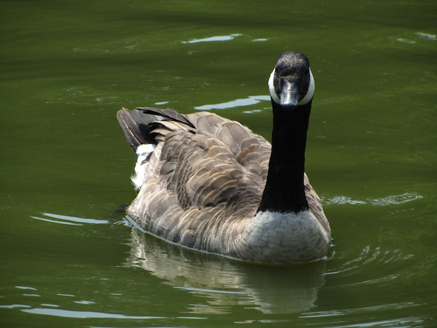 Closeup shot of an adult canada goose swimming in a pond in brussels, belgium