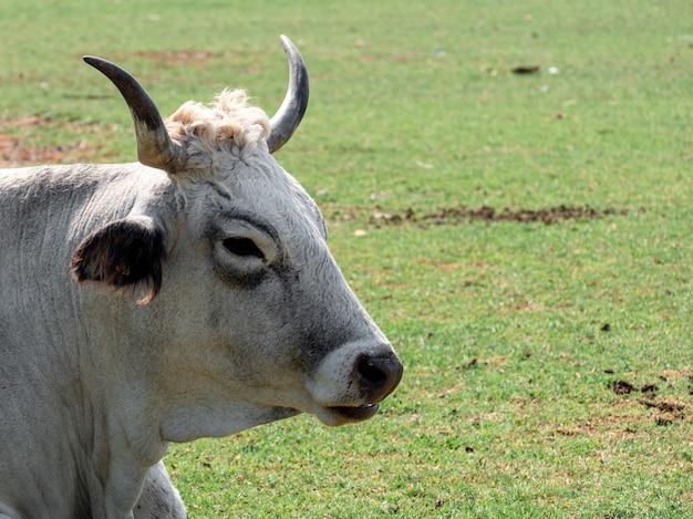 Primo piano di una mucca adulta in una fattoria con uno sfondo sfocato