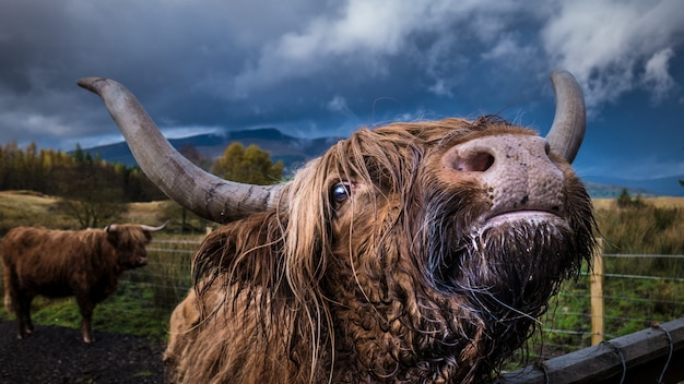 Closeup shot of an adult domestic yak looking at the camera with another yak