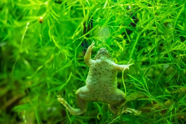 Colpo del primo piano della rana artigliata africana