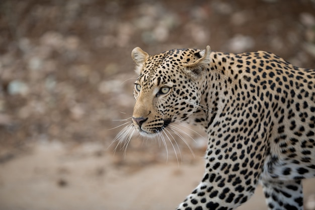 Closeup shot of an african leopard