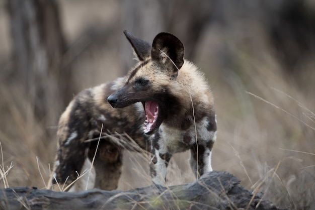Closeup shot of an african wild dog with a mouth wide open