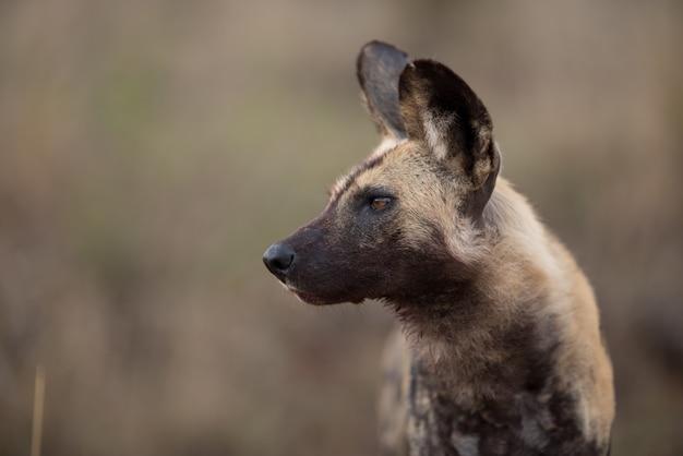 Closeup shot of an african wild dog