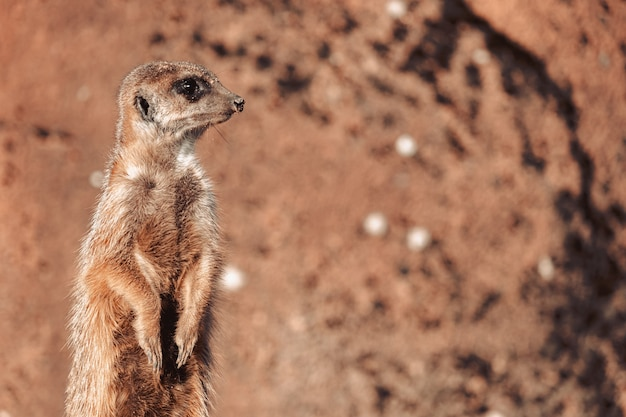 Closeup shot of an alert meerkat being watchful in the desert