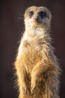 Closeup shot of an alert meerkat being watchful in the desert