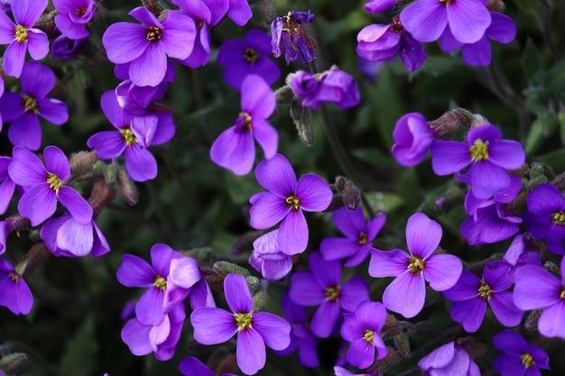 Colpo del primo piano di incredibili fiori viola aubrieta