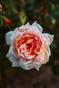 Closeup shot of an amazing cream-pink rose flower